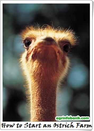 How to Start an Ostrich Farm